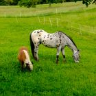Ein Zebra-Dalmatiner-Pferd