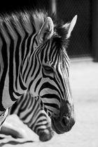 Ein Zebra in schwarz-weiß