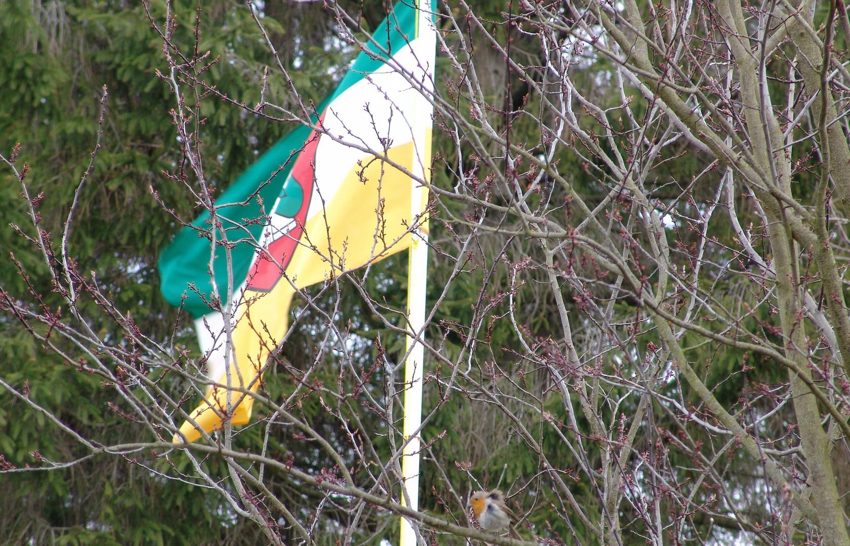 Ein zerzaustes Rotkehlchen mit Fahne im Frühling