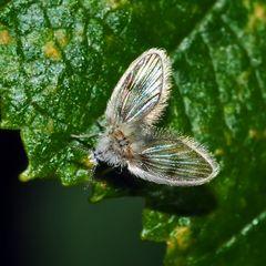 Ein zierlicher Winzling! - eine Schmetterlingsmücke (Psychodidae) *