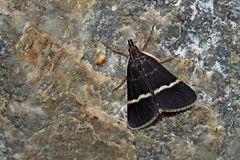 Ein Zünsler: Pyrausta cingulata oder Pyrausta rectefascialis* - Un papillon de nuit.