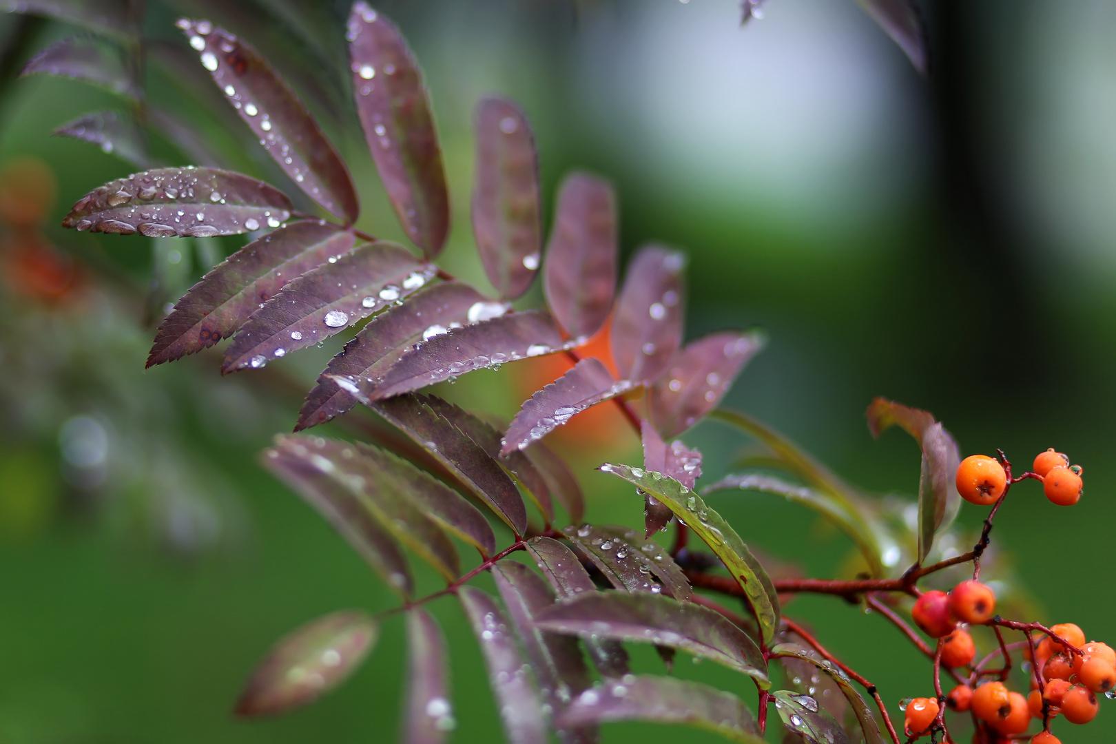 Ein Zweig der Eberesche, nach dem regen ...