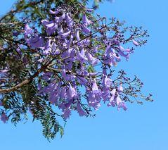 ein Zweig des Jacaranda