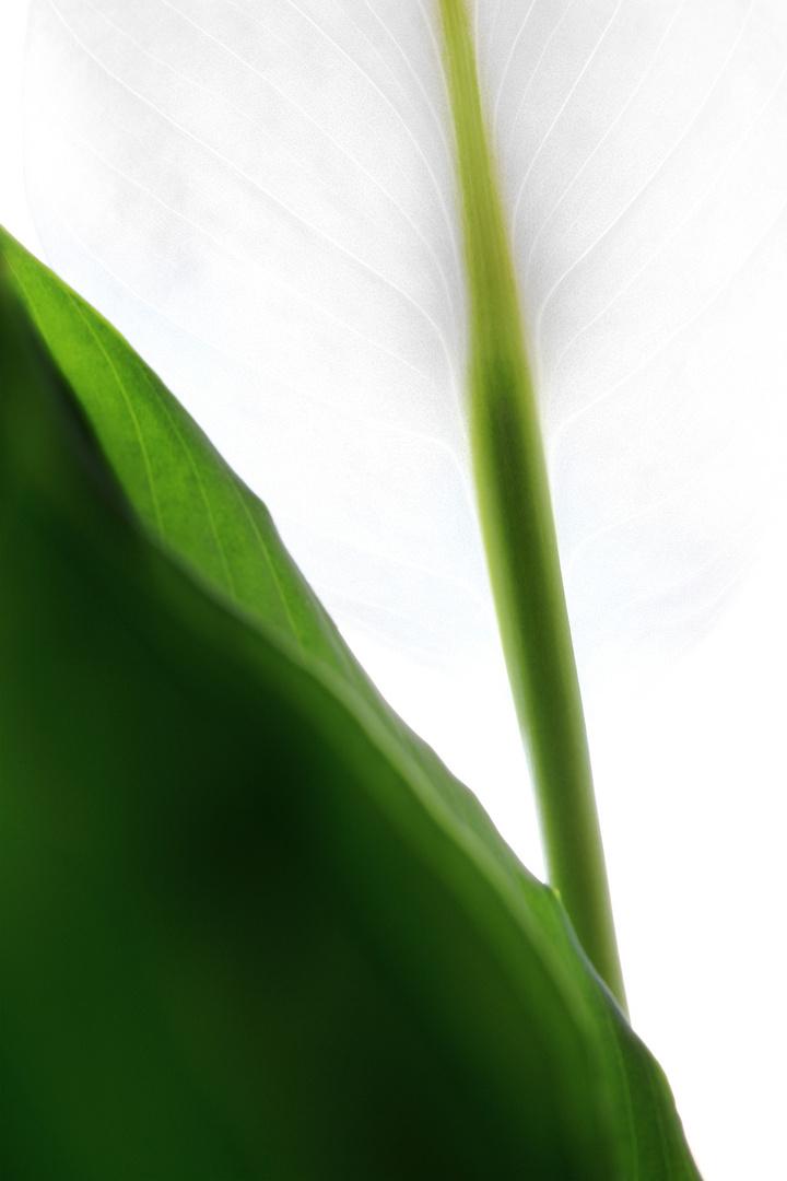Einblatt (Spathiphyllum)