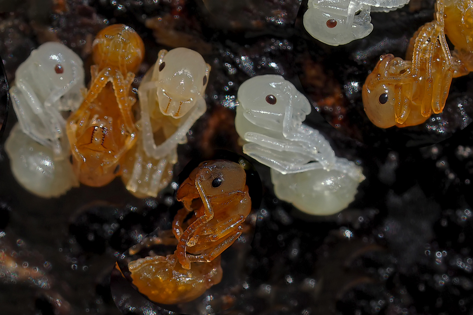 Einblick in die Säuglingsstation...  -  Bambins de fourmis rouges...
