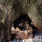 Einblicke in das Innere eines ur alten Baumes