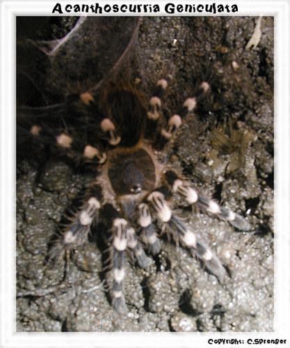 Eine Acanthoscurria Geniculata kurz nach der Häutung