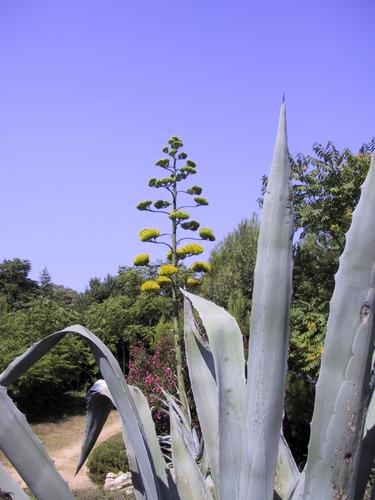 Eine Agave blüht nur einmal im Leben