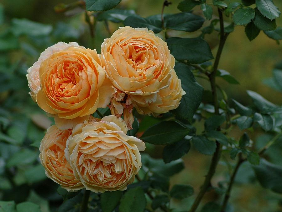 Eine alte Rosensorte