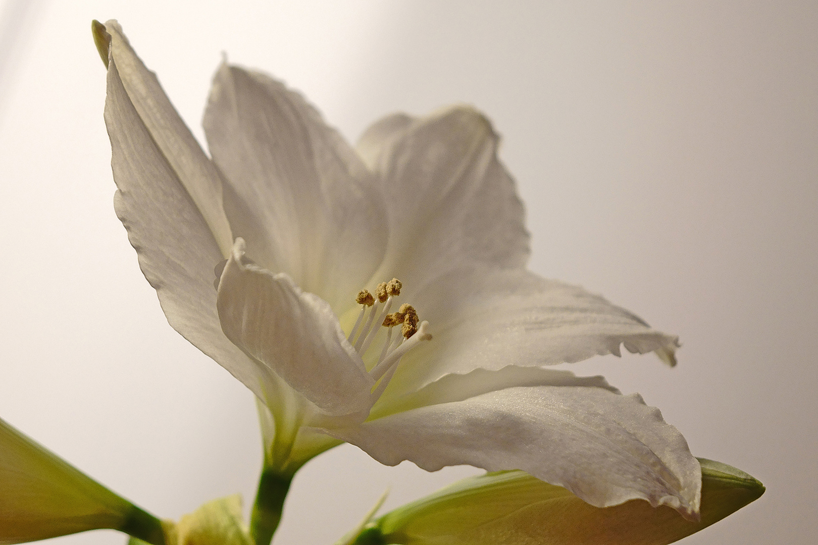 eine Amaryllis zum Advent