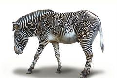 Eine andere Art Zebra