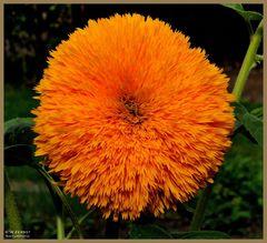 - Eine andere Sonnenblume -