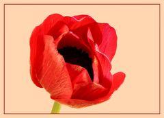 Eine Anemonenblüte öffnet sich