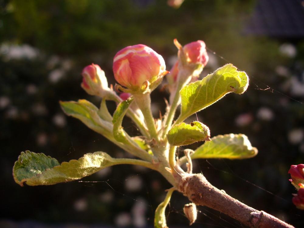 Eine Apfelbaumknostpe ( der Apfel wird lecker )