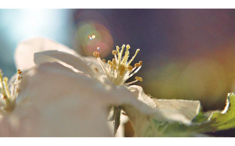 *Eine Apfelblüte von der Sonne geküsst*