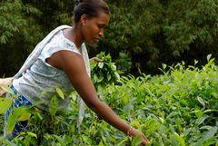 Eine Arbeiterin bei der frühmorgendlichen Tee-Ernte