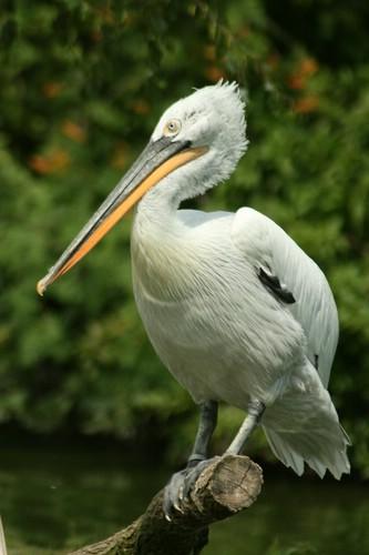 Eine Art Pelikan