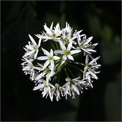 Eine Bärlauchblüte
