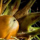 Eine Baumhaselnuss