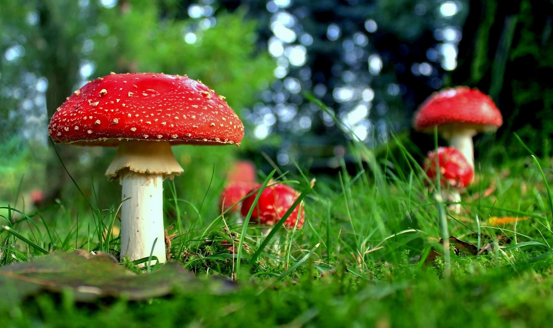 Eine berauschende Pilzfamilie