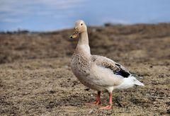 eine besondere Ente am Main...