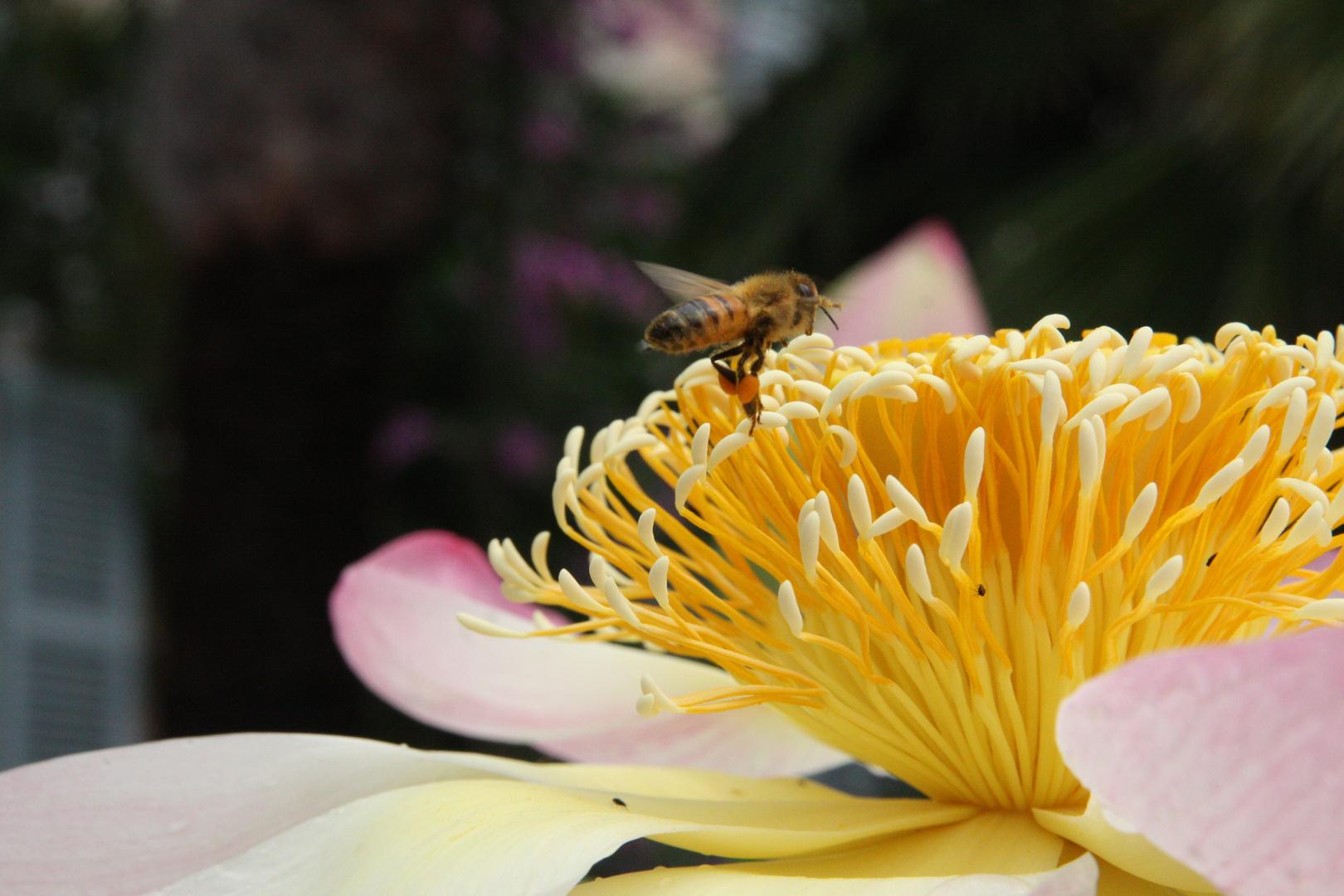 Eine Biene am Nektar sammeln