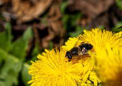 Eine Biene auf Nektarsuche