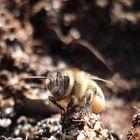 Eine Biene beim Chillen