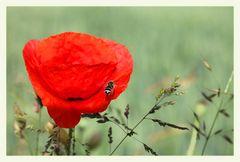 Eine Biene sieht  Rot :-)