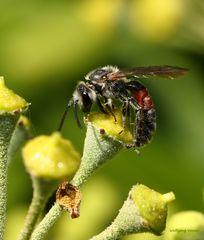 Eine Bienen Art