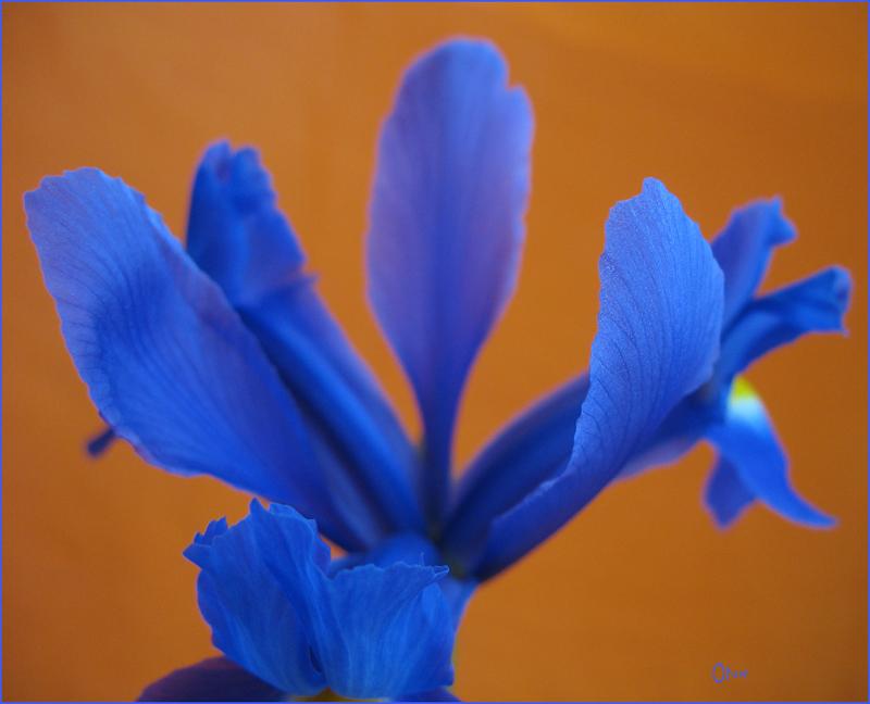 eine blaue Iris vor dem orangefarbenen Hintergrund