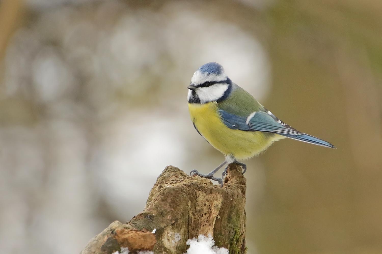 Eine Blaumeise im Winter..