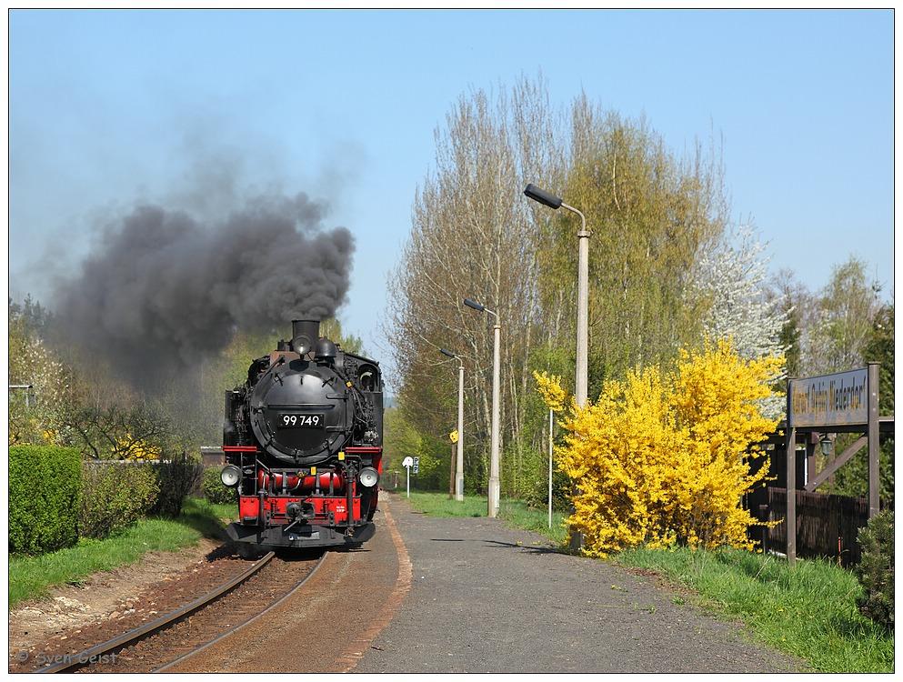 Eine blühende Forsythie in Oybin Niederdorf