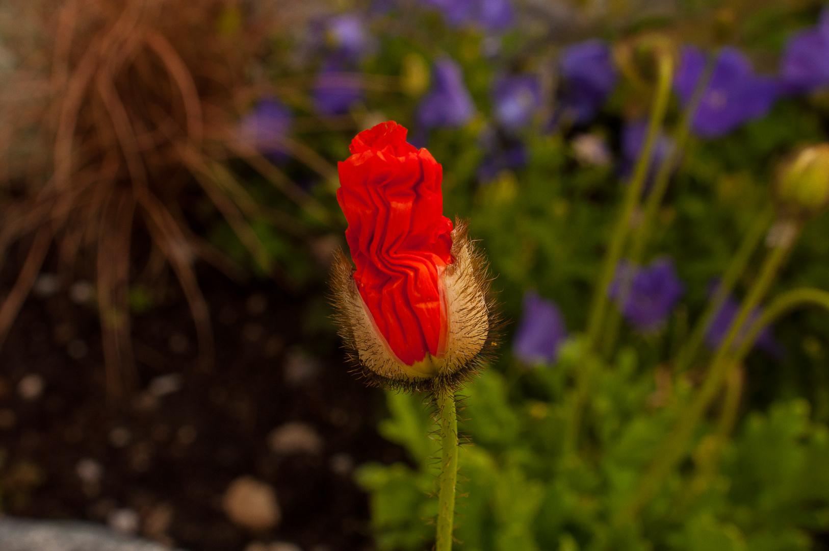 Eine Blüte entsteht