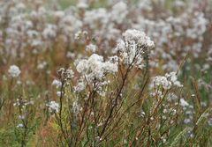 Eine Blume, die im Herbst Gebüsch im wolligen Mantel wird.