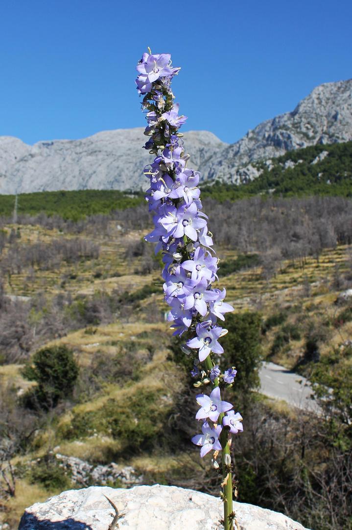 Eine Blume vor dem Biokovo-Massiv in Kroatien