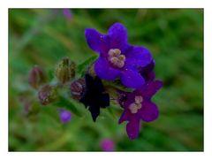 Eine Blume zum neuen Jahr- Ochsenzunge
