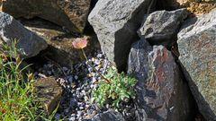 Eine botanische SENSATION ist diese unscheinbare Blüte des GLETSCHERHAHNENFUSSES....