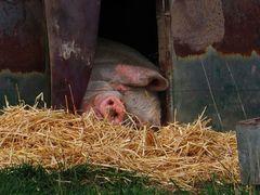 eine Box - ein Schwein