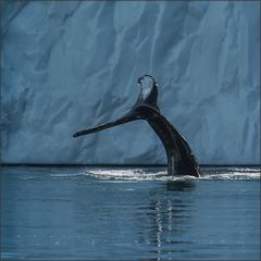 eine buckelwalfluke