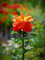"""Eine """"bunte"""" Rose für TOM"""