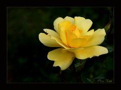 Eine Dankeschön-Rose