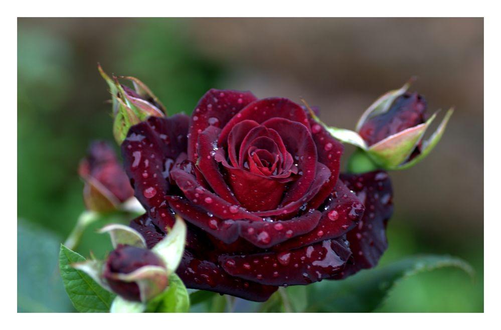 eine der dunkelsten rosen foto bild pflanzen pilze flechten bl ten kleinpflanzen. Black Bedroom Furniture Sets. Home Design Ideas