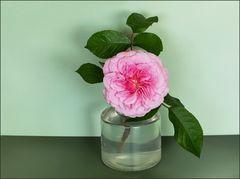 Eine der ersten Rosen..