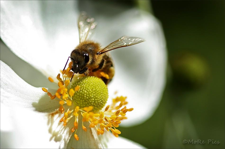 Eine der letzten Bienen dieses Jahr ...