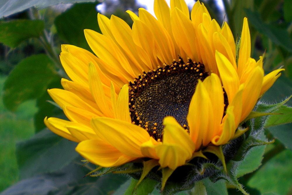 Eine der letzten Sonnenblumen im Garten...