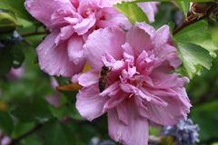 eine der wenigen Bienen dieses Jahr