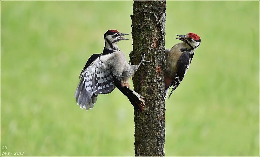 Eine Doku: Zoff bei den jungen Buntspechten!
