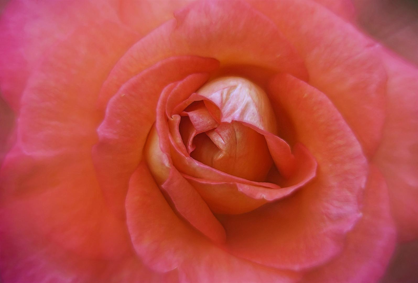 eine duftende rote rose ...
