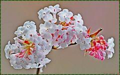 Eine Duftschneeball-Blüte